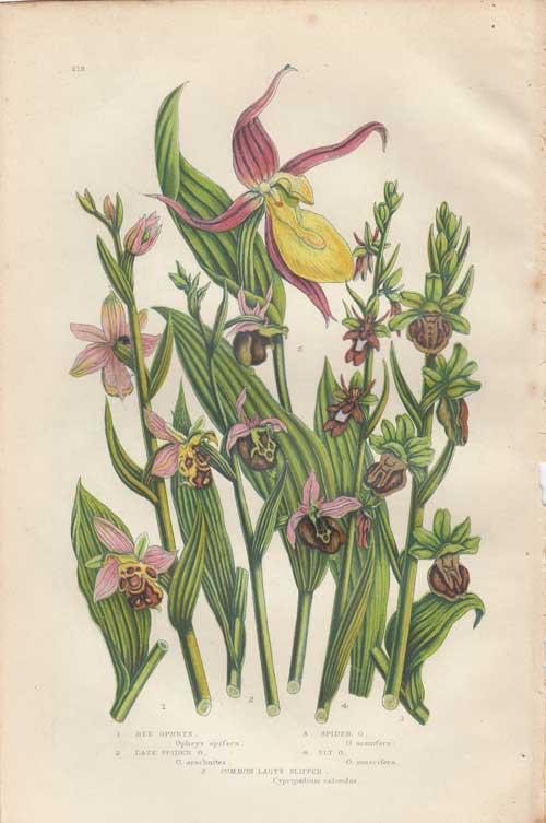 古い植物の絵