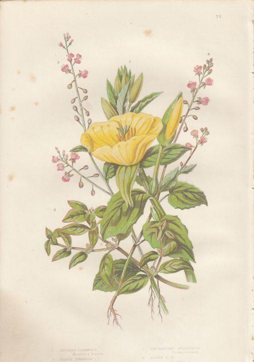 古い花のイラスト集